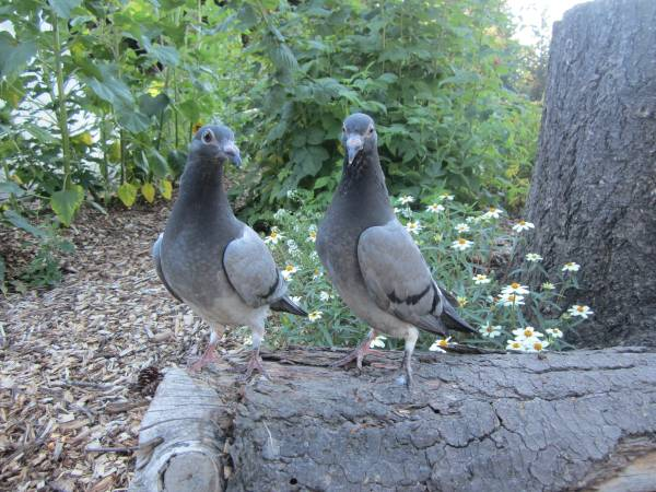 Mannum Pigeons For Sale South Australia Classifieds Ads
