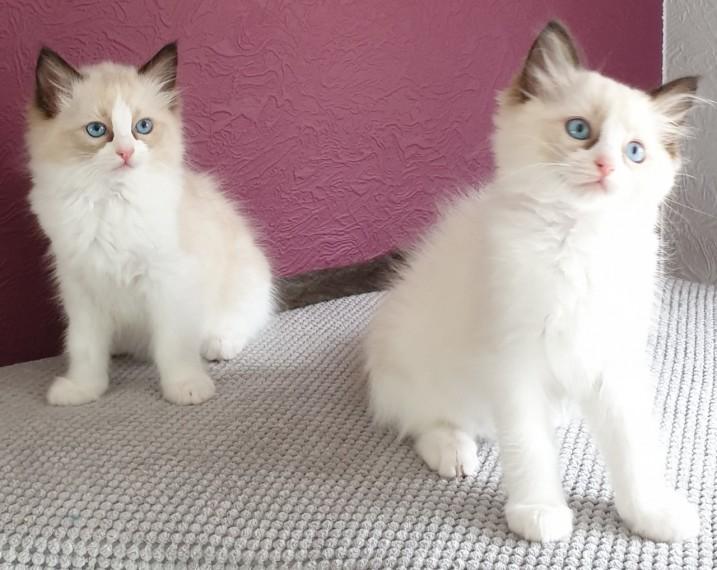 Mandurah Cats For Sale Western Australia Classifieds Ads Mandurah Cats For Sale Online Post Free Classified Ads
