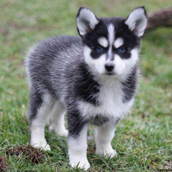 Karratha Dogs For Sale Western Australia Classifieds Ads, Karratha