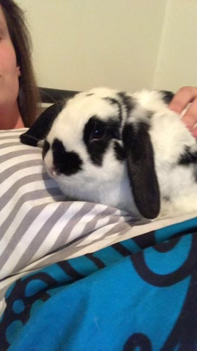 Hobart Rabbits For Sale Tasmania Classifieds Ads Hobart Rabbits For Sale Online Post Free Classified Ads